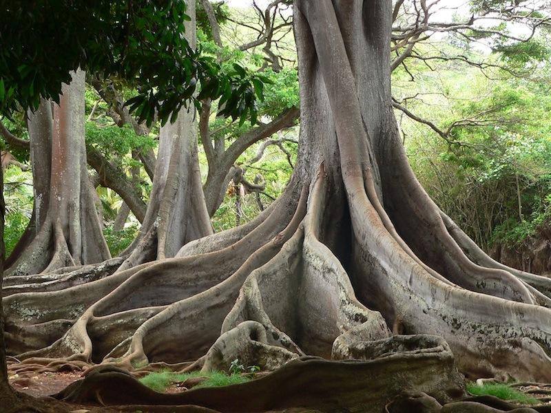 Charmant ... National Tropical Botanical Garden; Moreton Bay Fig Tree. Moreton Bay  Fig Tree