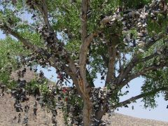 The Shoe Tree of Middlegate, NV in full bloom