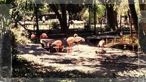 Flamingoes In habitat
