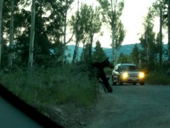 Moose by roadside at twilight, Jackson, Wyoming