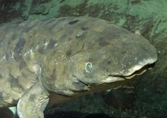 Australian Lungfish  Close up