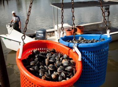 Two hanging baskets of clams at a clam fishery in Cedar Key, Florida.