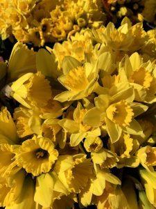 daffodils by jennifer archer